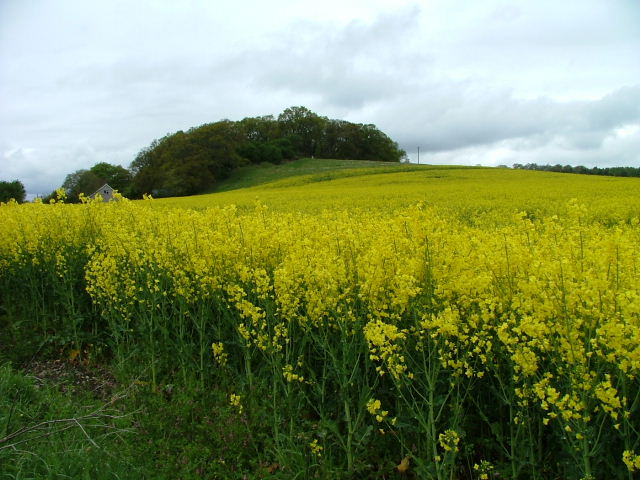Oilseed rape field   Image by Dave Fergusson   CC BY-SA 2.0